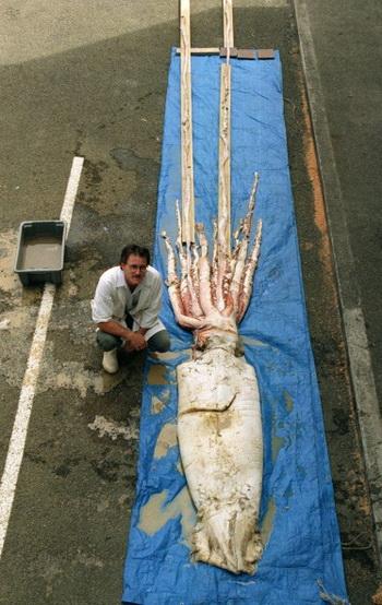 Гигантский кальмар, пойманный в Новой Зеландии. Фото: Barry Durrant/Getty Images