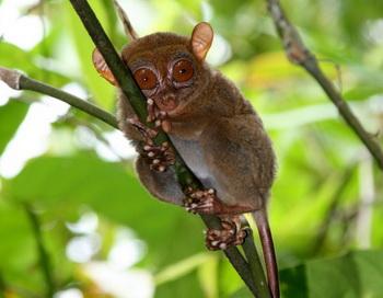 Филиппинский долгопят Tarsius syrichta в фокусе исследования на ультразвуковой способ общения. Фото: Courtesy of Nathaniel Dominy