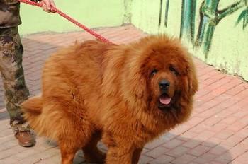 12 марта один миллионер купил себе тибетского мастифа за 10 миллионов юаней, это примерно полтора миллиона долларов США. Фото: kanzhongguo.com