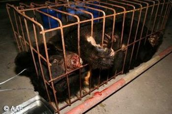Медведи, предназначенные для извлечения желчи, могут жить только две трети от продолжительности жизни медведей. Фото: с epochtimes.com