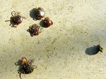 Клещи в Китае стали переносчиками неизвестного смертельного вируса. Фото с epochtimes.com
