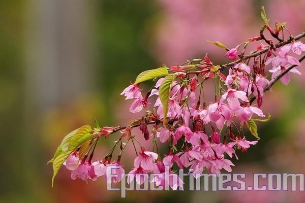 В горах Алишань расцвели вишни. Тайвань. 15 марта 2010 год. Фото: Су Юйфэнь/The Epoch Times