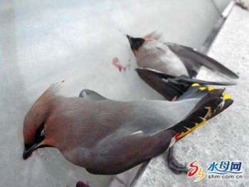 Птицы подлетают к зданию и совершают самоубийство, налетая на стены здания. Фото:shm.com.cn