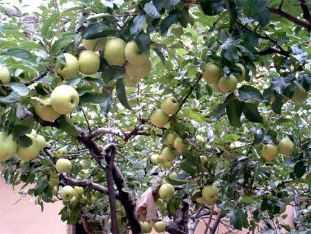 Несколько лет назад одна монахиня, проводившая в горах затворничество 3 года и 3 месяца, посадила рядом со своим жилищем несколько яблонь. Теперь эти сочные яблоки служат пищей для отшельников. Горы Чжуннаньшань. Фото с kanzhongguo.com