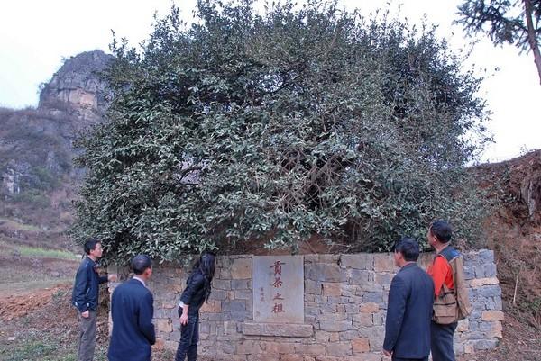 Самое древнее чайное дерево в провинции Гуйчжоу застраховали на миллион долларов. Фото с epochtimes.com