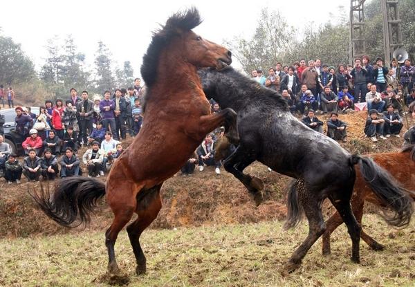 Лошадиные бои. Провинция Гуанси. Февраль 2011 год. Фото с epochtimes.com