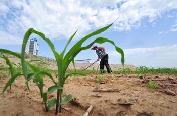 Плантация кукурузы в провинции Хэбэй (КНР). Фото: AFP