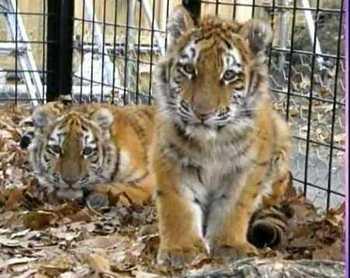 От голода и плохого содержания в зоопарке города Шеньян провинции Ляонин умерло 11 тигров. Фото с epochtimes.com