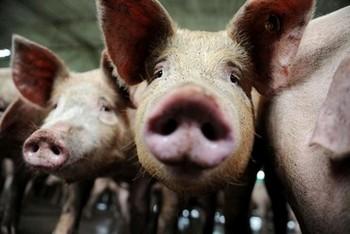 Вспышка чумы свиней произошла в китайской провинции Сычуань. Фото: AFP