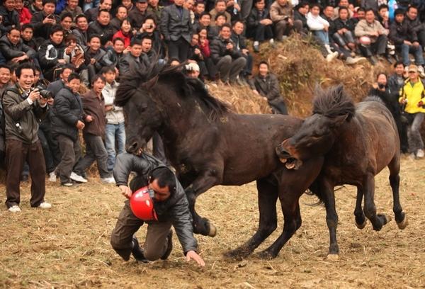 Лошадь спасла человека во время лошадиных боёв. Провинция Гуанси. Февраль 2011 год. Фото с epochtimes.com