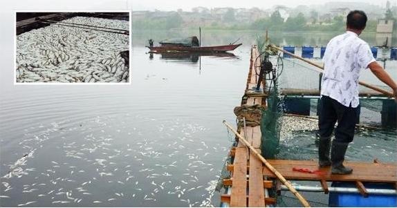 Более 200 тонн рыбы погибло на реке Цзыцзян. Провинция Хунань. Август 2011 года. Фото с epochtimes.com