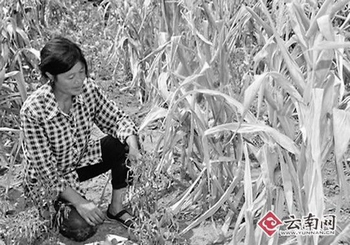Засохшая от засухи кукуруза. Провинция Юньнань. Август 2011 год. Фото: yunnan.cn