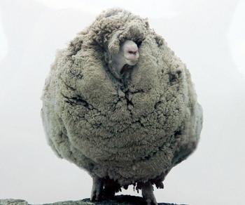 Овец в Китае выращивают на стероидах. Фото: DEAN TREMLAFP