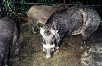 Более тысячи свиней забито в городе Шеньчжень провинции Гуандун для профилактики эпидемии ящура. Фото: ЦАН