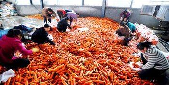 В Китае редьку моют в воде с пиросульфитом натрия, чтобы она выглядела свежей и апетитной. Фото с secretchina.com