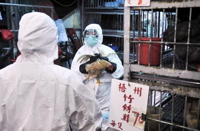 Власти Гонконга изымают кур на рынке, где в 2008 году была обнаружена домашняя птица, погибшая от вируса H5N1. Недавно правительство Гонконга запретило импорт мяса птицы из материкового Китая, чтобы предупредить заболевание. Фото: Andrew Ross/AFP/Getty Images