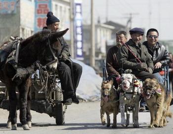 В Китае власти Шанхая издали закон: одна семья-одна собака. Фото: China Photos/Getty Images