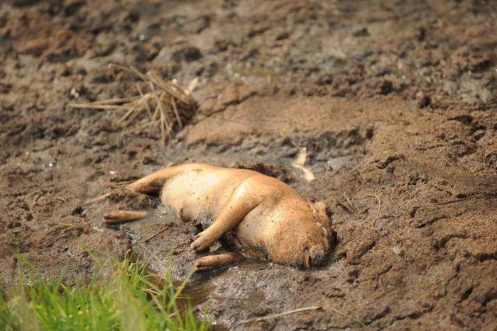 Мёртвый поросёнок в восточной китайской провинции Чжэцзян, 14 марта 2013 года. Фото: Peter Parks/AFP/Getty Images