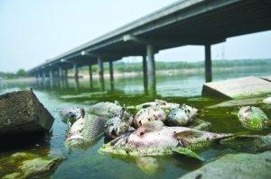 От промышленного загрязнения погибло множество белых амуров. Река Тунчжоу. Июнь 20011 год. Фото с news.qq.com