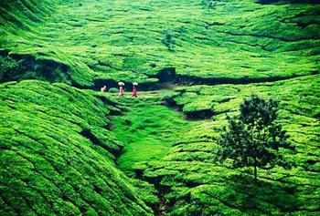 Склон горы, на которой растет чай. Фото с сайта best-country.com