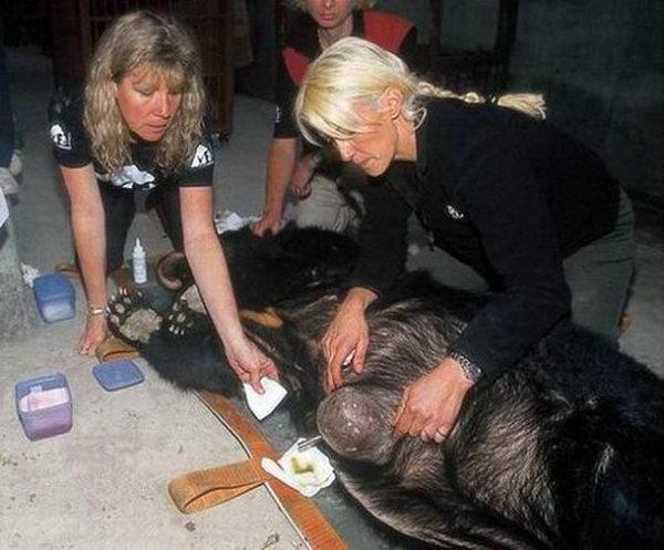 Чтобы спасти этих несчастных медведей, зарубежные защитники животных создали «Ассоциацию защиты животных в Азии». На фото - основатель «Ассоциации защиты животных в Азии» Джилл Робинсон вместе с другими сотрудниками спасает больных медведей. Фото: 360doc.com