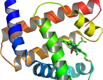 По результатам последних исследований, белок миоглобин (мышечный гемоглобин) по окончании его нагревания, может ренатурировать свои длинные цепи аминокислот при отсутствии жидкости. Фото: AzaToth/Wikimedia Commons