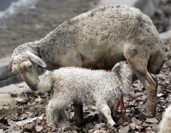 Китайский Новый год. День Барана или Овцы. Фото: GOH CHAI HIN/AFP/Getty Images