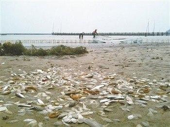 Массовый мор рыбы произошёл в районе Южно-китайского моря. Август 2011 год. Фото с epochtimes.com