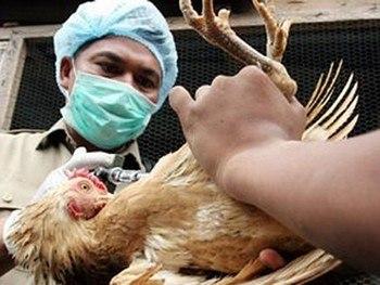 Птичий грипп поражает, в основном, птиц, но может быть заразен для человека. Фото с zeftera.ru