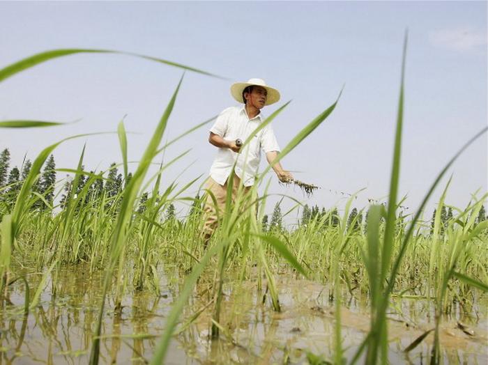 Китайские фермеры работают на поле с гибридным рисом близ города Чанша провинция Хунань, 20 июня 2006 года. Последние новости в китайских СМИ пестрят сообщениями о том, что американский университет проводит эксперименты на китайских детей с использованием генетически модифицированного риса. Фото: Guang Niu/Getty Images