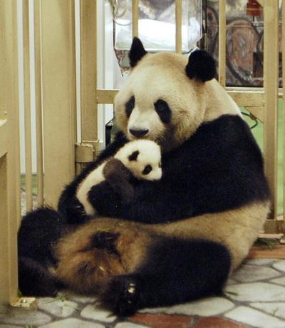 Мать панда держит медвежонка, рождённого 10 августа 2012 в зоопарке Adventure World города Сирахама в западной Японии 5 октября 2012 г. Фото:  STR/AFP/GettyImages