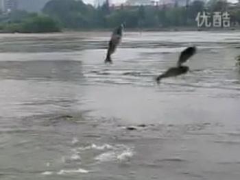 На озере Суаньу обитающие в нем толстолобики стаями выпрыгивали из воды. Фото: epochtimes.com
