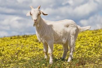 Вакцинация привела к гибели 4000 коз. Фото: kto-takoy.com