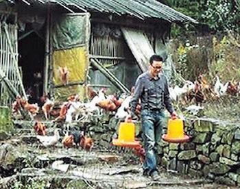 Летающие куры. Фото: epochtimes.com