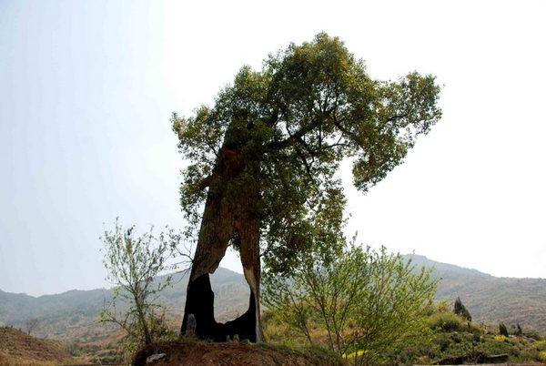 Трёхсотлетнее камфорное «стойкое дерево». 17 апреля 2011 год. Фото с epochtimes.com
