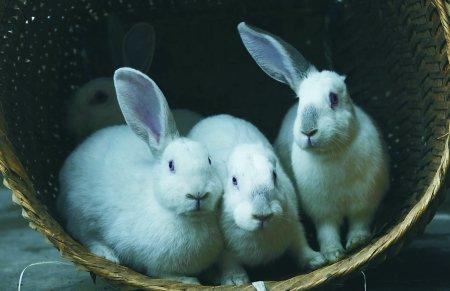 Кролики с одним ухом и без. Фото с epochtimes.com
