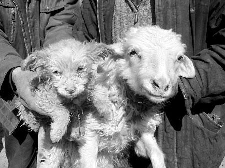 Овца со своим детёнышем похожим на собаку. Фото: Szhou.cn
