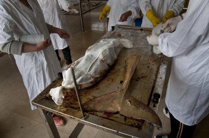 Специалисты пекинской лаборатории исследуют причины гибели беспёрых морских свиней в озере Дунтинху. Апрель 2012 год. Фото с epochtimes.com