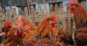 В китайской деревне от вируса умерло более двух тысяч домашних птиц. Фото: Getty Images