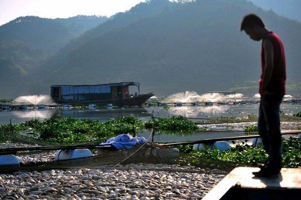 Массовый мор рыбы. Провинция Фуцзянь. Сентябрь 2011 год. Фото с видео ролика телеканала «Феникс»