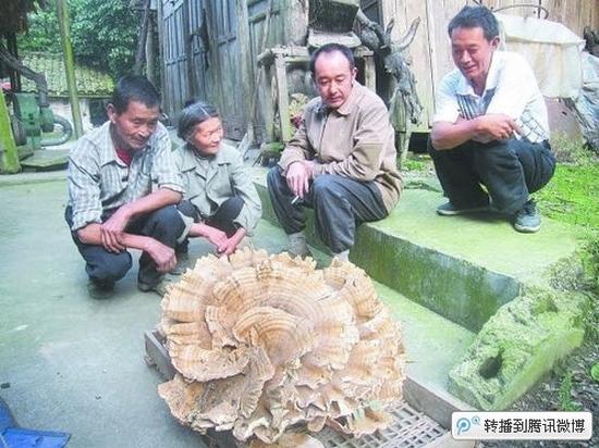 Гигантский гриб нашёл житель деревни Тунбао провинции Сычуань. Сентябрь 2011 год. Фото с epochtimes.com