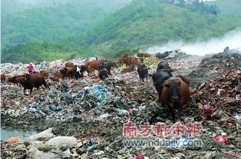 Коров выпасают на свалке, чтобы они быстрее росли. Провинция Гуандун. 2011 год. Фото с epochtimes.com
