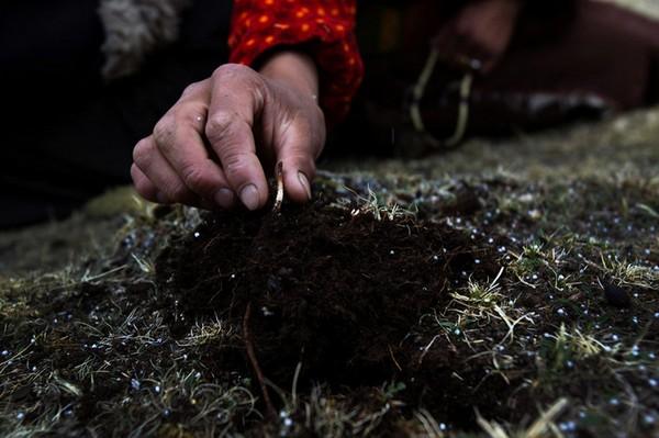 Тибетцы собирают кордицепс. Фото с kanzhongguo.com