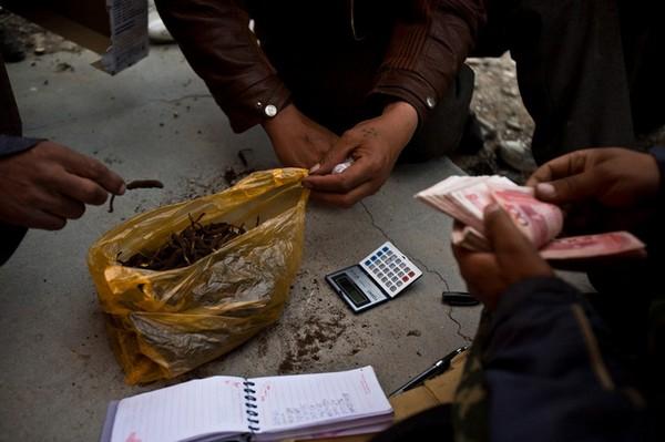 Продают кордицепс скупщикам обычно поштучно. В зависимости от размера гриба цена составляет от 10 до 50 юаней ($1,5–7,7). Фото с kanzhongguo.com