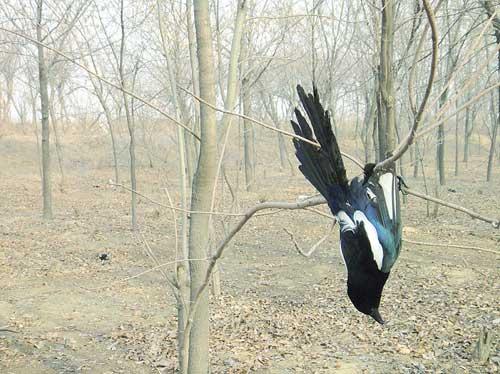 Около 100 мертвых сорок было обнаружено в лесопосадке в провинции Хэбэй. Декабрь 2011 год. Фото: Ли Хайцзю