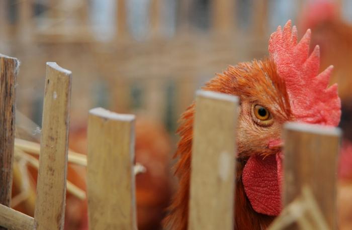 В Китае может начаться эпидемия птичьего гриппа. Фото: Getty Images