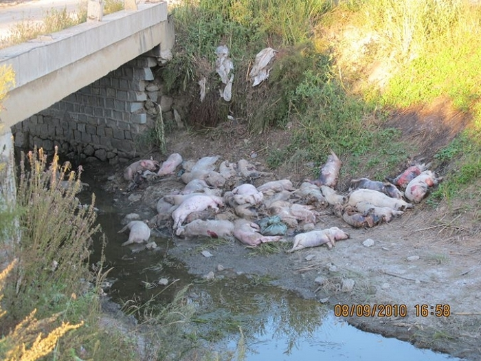 Китайские фермеры часто просто выбрасывают умерших от болезней свиней в реки или на обочины дорог. Провинция Хэйлунцзян. Фото предоставлено местными жителями