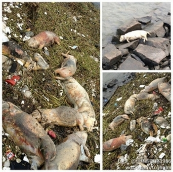 Из реки Хуанпу уже выловили более 6000 мёртвых свиней. Китай. Март 2013 года. Фото с epochtimes.com