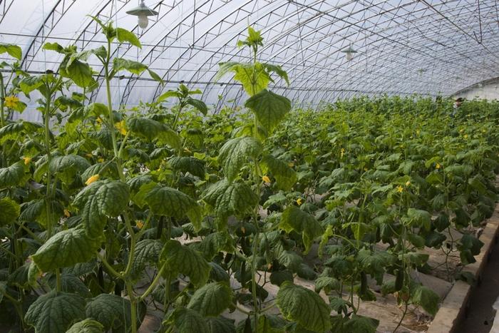 Без большого количества химикатов урожая в китайских теплицах не будет. Фото с epochtimes.com