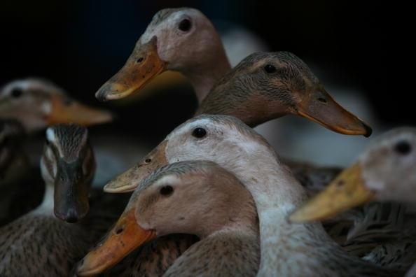 В Китае от птичьего гриппа умерли тысячи птиц. Фото: China Photos/Getty Images